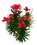 Red Lilies PNG..