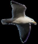 Gull PNG by AledJonesDigitalArt