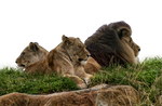 Lion and lioness'  PNG Stock..