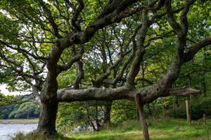 Twisted Oak Tree Stock.. by AledJonesDigitalArt