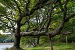 Twisted Oak Tree Stock..