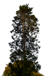Pine Tree Stock 01 PNG..