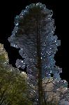 Pine Tree Stock 02 PNG..