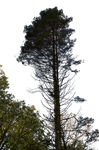 Pine Tree Stock 02 PNG..