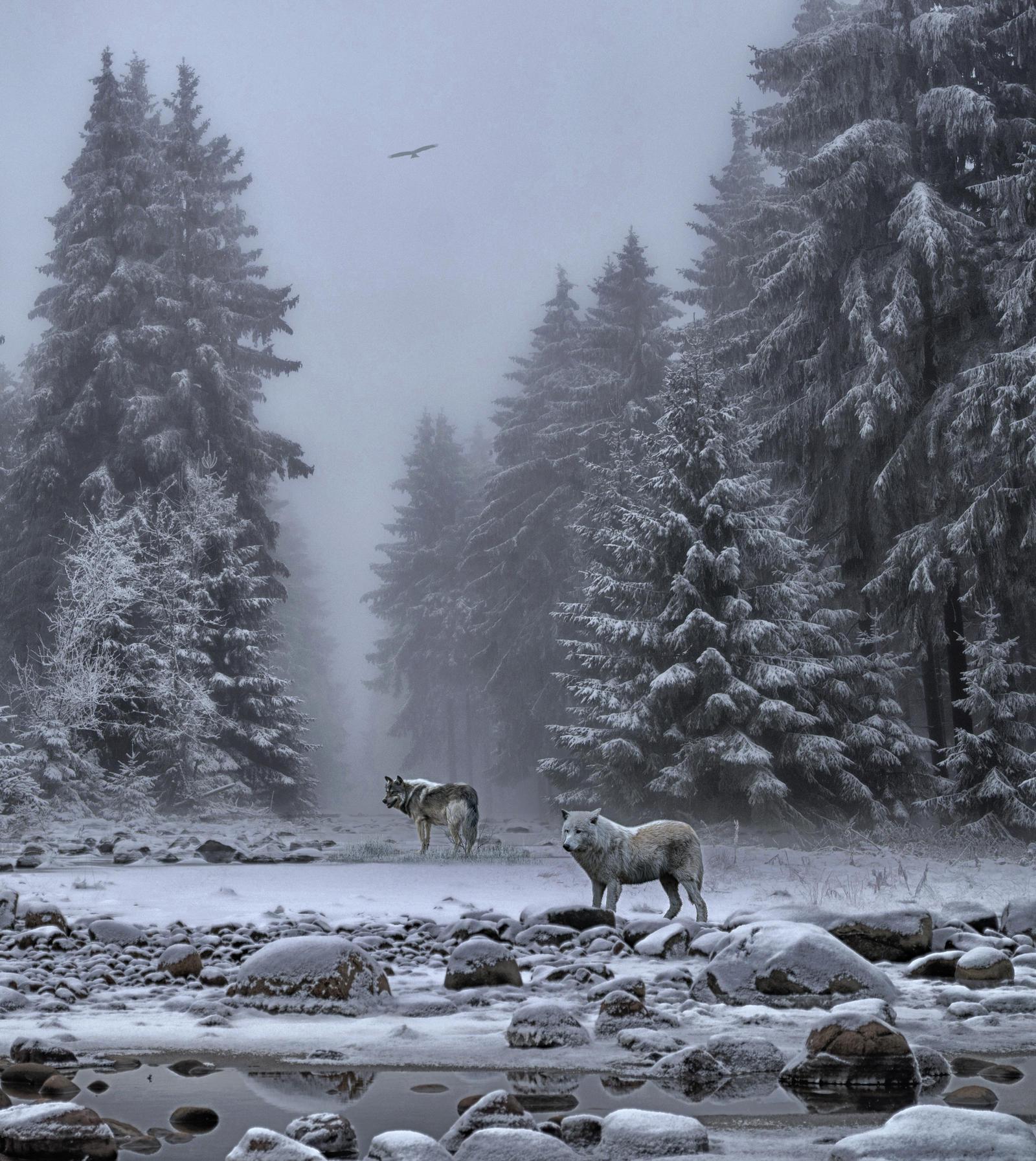 Wolves In The Snow.. by AledJonesStockNArt