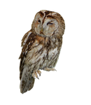 Tawny Owl PNG Stock..