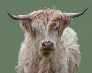 White Highland Cow Smudge Painting..