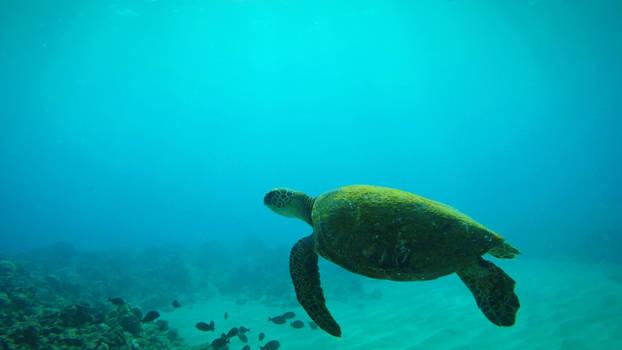 Moss Green Sea Turtle