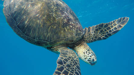 Contemplative Dive Turtle