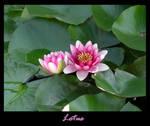 Lotus by BruxaA