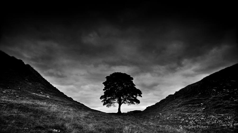 Sycamore Gap by Nelleke