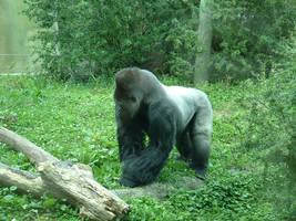 Gorilla 1 by creativenature-stock