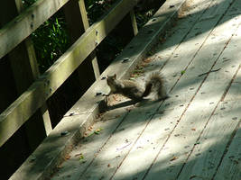 Bob the Squirrel by creativenature-stock