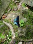 Blue Butterfly 1