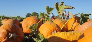 Pumpkin Patch stock
