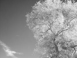 infrared::great oak by erikschorr