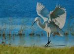 Little Egret at Elmley