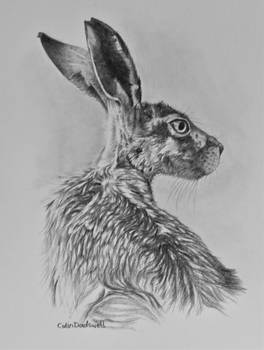 Hare drawing 2