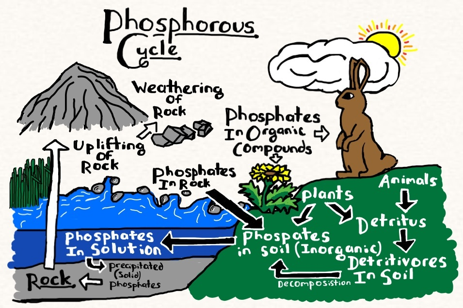 Phosphorus Cycle Diagram And Explanation Phosphorus Cooperative