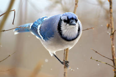 I'm a Jay, What are you? by mozella78