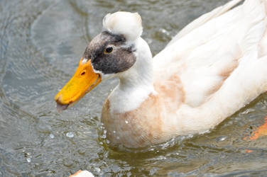 Crested Duck by mozella78