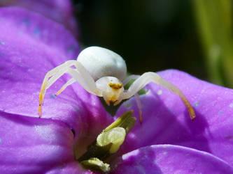 Tiny Crab Spider by mozella78