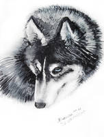 Husky sketch by LAAS-Elin