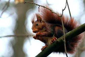 squirrel by nelsonaf