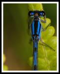 Blues by jesse-botanical