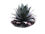 Maguey (Agave palmeri) plant png