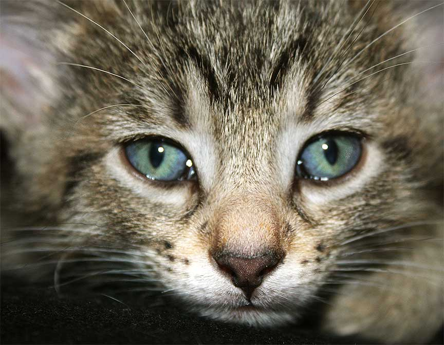 Kitten Eye Color Predictor