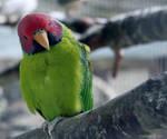 Plum Head Parakeet by Xiuhcoalt