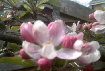 Apples in Bloom by Coolfruits