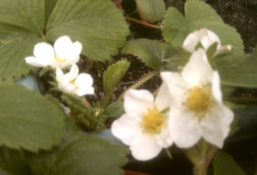 Strawberries in Bloom by Coolfruits