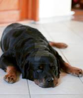 Sleepy old dog
