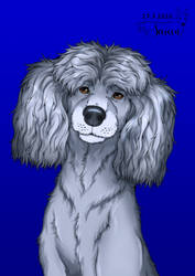 Aaro the poodle