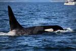 Wild Orca Vancouver