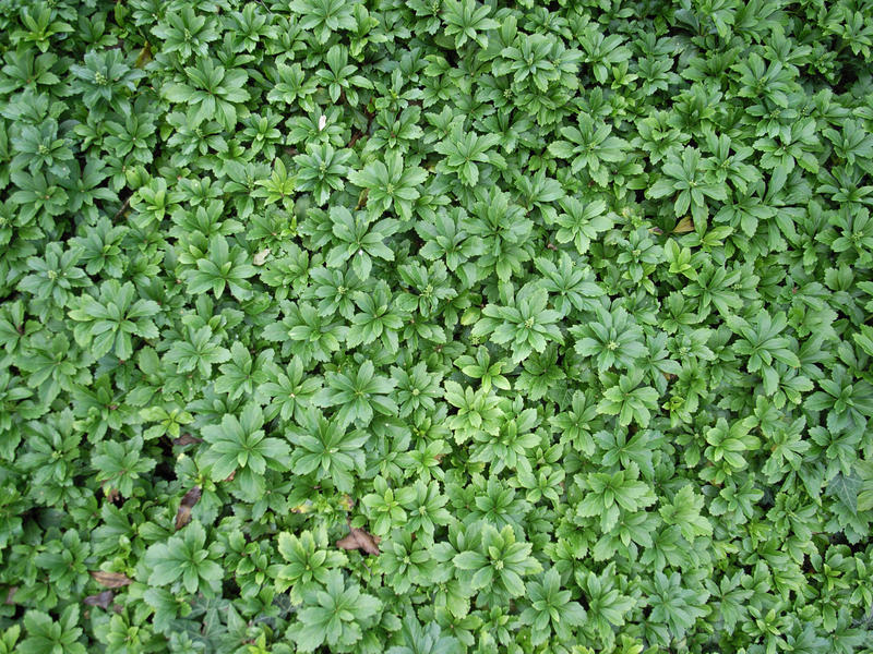 Free Hedge plant Texture by o0O-PILLOWFIGHT-O0o