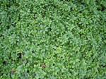 Free Hedge plant Texture
