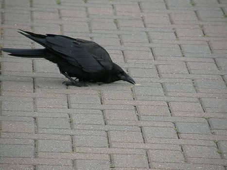 Crow Stock5