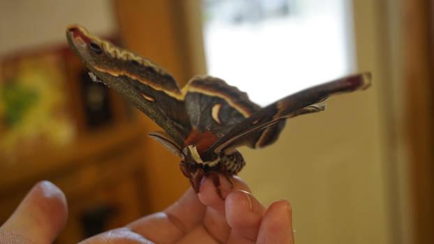 Giant Moth 5