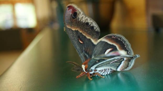 Giant Moth 6