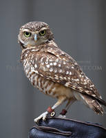 Burrowing Owl by Pale-Recluse