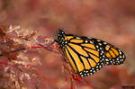 The Last Monarch by WraithPhotography