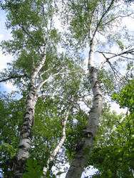 Birches Reaching for the Sky by Qrystal