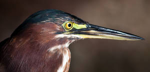 Green Heron Close-up