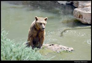 Syrian Brown Bear 12