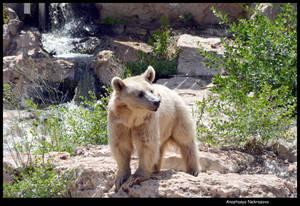 Syrian Brown Bear 14