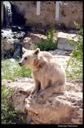 Syrian Brown Bear 15