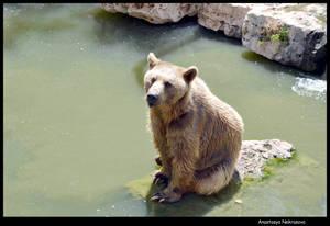 Syrian Brown Bear 16
